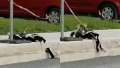 Skunk family teaches important lesson of teamwork in viral video. Watch