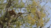 Leopard tries to throw monkey off a tree. Intense video will give you goosebumps