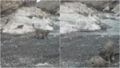 The internet cannot get enough of this viral video of a snow leopard and its cubs. Watch