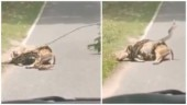 Man intervenes, tries to save deer about to be eaten by snake. Viral video has Twitter divided