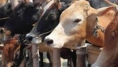 Assam: 10 trucks with 237 cattle heads seized by police, 34 people arrested