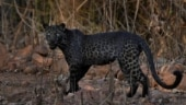 Did you know black panthers have spots? Viral image from Tadoba delights Internet