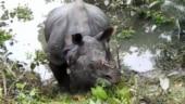 Tired rhino that slept on road returns to Kaziranga in Assam. Video of him feeding goes viral
