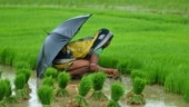Good news! 25% increase in paddy sowing this year