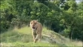 This majestic video of a tiger walking around Bandipur National Park is worth a watch