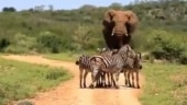 Herd of zebras make way for majestic elephant in viral video. Internet loves it