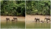 Baby elephants enjoy bathing in river with their family. Internet loves viral video