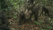 This photo taken by a camera trap shows a group of Cross River gorillas in the Mbe Mountains of Nigeria on Monday. (Photo: AP)