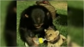 Chimpanzee bottle feeds lion cub in adorable viral video. Internet is emotional