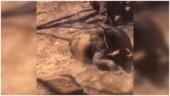 Baby elephants enjoy taking mud bath in viral video. Watch