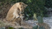 Pic of lioness with her cub goes viral. Netizens guess what they are talking about