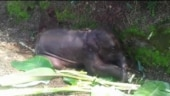 Assam: Baby elephant separated from herd dies at a tea garden in Biswanath