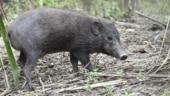 Virus lockdown for world's smallest and rarest wild pigs
