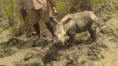 4-day-old baby rhino rescued in Kaziranga National Park. See picture