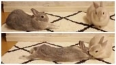 Video of bunny stretching sneakily to get cuddles from partner has the internet saying awww