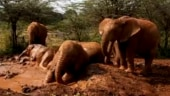 Orphaned elephants enjoy a mud bath in adorable viral video. Watch