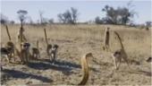 Cobra fights intense battle with gang of meerkats. Viral video