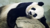 Washington zoo awaits birth of panda cub amid coronavirus pandemic. Watch ultrasound video
