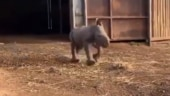 Viral video shows baby rhino running around happily. Twitter is delighted