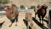 Indian Army to use double-humped camels for transportation, patrolling in Ladakh