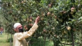 Another year of gloom for Kashmir's famed apple industry