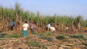 India's sugar crop faces delays with Covid-19 raging throughout nation