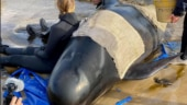 Australia says majority of 470-strong beached whale pod died