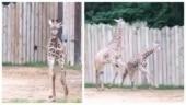 Baby giraffe runs around with elder brother in adorable video. Watch