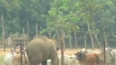 Elephant tries hard to make friends with cows, but fails. Adorable video has Twitter laughing