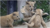 3 rare Barbary lion cubs born in Czech zoo park