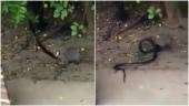 Video shows fierce battle between snake and mongoose. Twitter calls it survival of the fittest