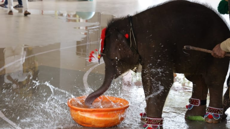 Baby elephant Shivani enjoys playing with water.