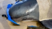 Australia counts record 470 stranded whales as rescue continues