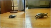Video of turtle using toy car to move around goes viral. It wants another race, says Twitter