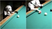 Video of a doggo playing pool goes viral. Can play better than us, says Twitter