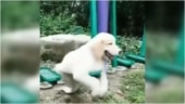 Dog enjoys playing on the swing in adorable viral video. So cute, says Internet