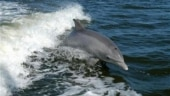 Project Dolphin: Maharashtra launches action plan for conservation of oceanic dolphins