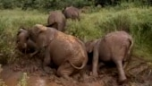 Elephants struggle to get up after mud bath. Twitter can't get enough of viral video