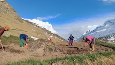 heeng cultivation in Lahaul-Spiti