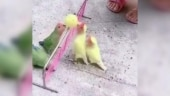 Video of little birds playing volleyball goes viral. Internet is impressed