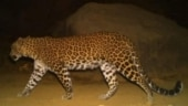 Pregnant leopard hit by vehicle on Mumbai-Ahmedabad National Highway, dies