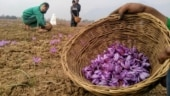 Saffron farmers in Kashmir waiting for sprinkle irrigation facility promised by govt 10 years ago