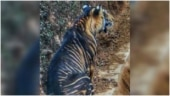 Rare black tiger in Odisha clicked by amateur photographer. Old pics go viral