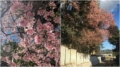 Shillong turns pink with cherry blossoms. See beautiful photos