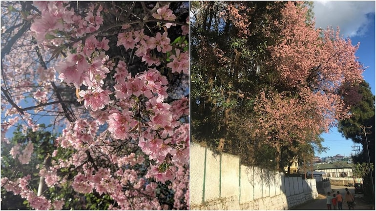 Move Over Japan And Us India Has Its Own Cherry Blossom Festival Now Makemytrip Blog