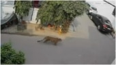 Leopard spotted roaming around street in Ghaziabad. CCTV footage goes viral