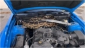 Florida wildlife officials remove 10-foot long python from Mustang engine. Viral video