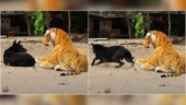 YouTuber pranks animals with stuffed tiger toy. Viral videos show their reactions