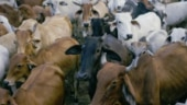 CBI summons 2 West Bengal Police officials in cattle smuggling case along India-Bangladesh border