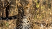 Efforts ramp up to capture a man-eating leopard in Maharashtra